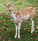 Fallow Deer Looking at the Camera. A fallow deer is looking at the camera Royalty Free Stock Image