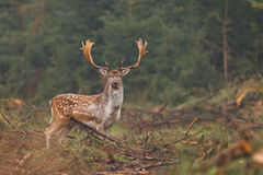 Fallow deer looking at camera. Fallow deer making his way into the forest Stock Image