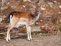 Fallow Deer Looking at the Camera. A fallow deer is looking at the camera Royalty Free Stock Photo