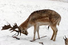 Fallow deer. Looking for food in snow Royalty Free Stock Photos