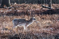 Fallow deer looking for food. In the snow stock images