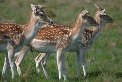 Fallow Deer Looking On stock photos