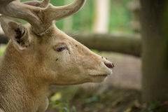 Fallow deer looking Royalty Free Stock Photos