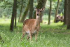 Fallow deer looking and ruminating Stock Photos