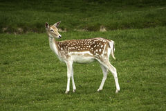 Fallow deer loosing coat Stock Image