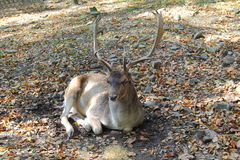 Fallow deer. Lying in the autumn park Royalty Free Stock Photography