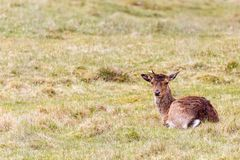 Fallow deer lying down in the grass stock photos