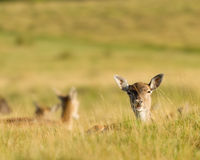 Fallow Deer Lying In Grass Stock Photos