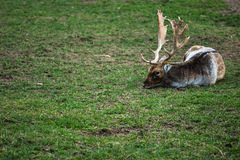 Fallow deer lying. Male fallow deer lying on the grass and rest Stock Images