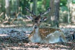 Fallow deer lying on the ground stock photos