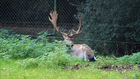 Fallow deer lying  in a wildlife park stock video footage