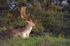 Fallow Deer Male Stock Image