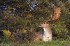 Fallow Deer Male Royalty Free Stock Image