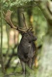 Fallow Deer Male Royalty Free Stock Photos
