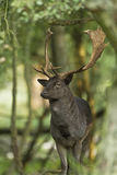 Fallow Deer Male Royalty Free Stock Photography