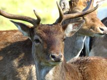 Fallow Deer. Male Fallow deer close up with antlers stock photography