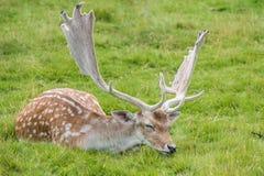 Fallow Deer. Male Fallow Deer in grass stock images