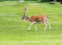 Fallow Deer. Male Fallow Deer in grass royalty free stock photography