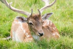 Fallow Deer. Male Fallow Deer in grass royalty free stock photos
