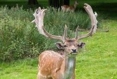 Fallow Deer. Male Fallow Deer in grass stock image
