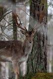 Fallow deer. Male fallow deer hiding among trees Royalty Free Stock Photo
