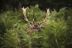 Fallow deer. The male fallow deer is known as a buck Royalty Free Stock Image