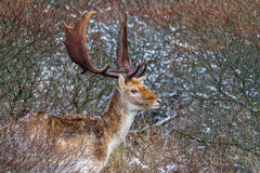Fallow deer. The male fallow deer is known as a buck, the female is a doe, and the young a fawn Royalty Free Stock Photography