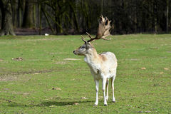 Fallow deer. Male fallow deer with majestic antlers royalty free stock photography