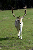 Fallow deer. Male fallow deer with majestic antlers stock photography