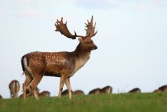 Fallow deer male on meadow Royalty Free Stock Photos