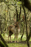 The Fallow Deer Male 02. Male Fallow Deer during oestrus Stock Photo