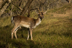 The Fallow Deer Male 05. Male Fallow Deer during oestrus Stock Photography