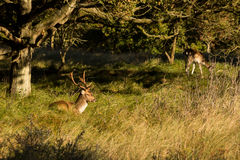 The Fallow Deer Male 08. Male Fallow Deer during oestrus Stock Photo