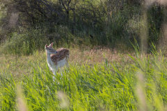The Fallow Deer. Male Fallow Deer during oestrus Stock Photo