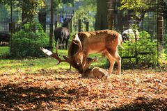 Fallow deer. Male fallow deer with offspring in the park in autumn royalty free stock images