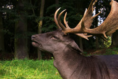 Fallow deer male Stock Photo