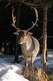 Fallow deer male. In the snow in winter royalty free stock photos