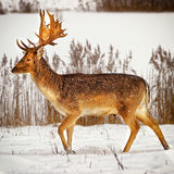 Fallow deer male in winter snow field Royalty Free Stock Images