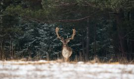 Fallow Deer Male In Winter Snow Forest. Panoramic Artistic Winter Christmas Wildlife Landscape With Daniel Dama Dama .Motionles royalty free stock photo