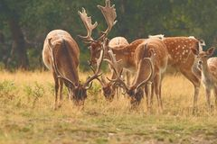 Fallow deer males herd Stock Photos
