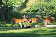 Fallow deer males. Several fallow deer males with spotted fur in deer park in summer, Hukvaldy, Czech Republic Stock Photography