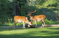 Fallow deer males. Several fallow deer males with spotted fur in deer park in summer, Hukvaldy, Czech Republic royalty free stock photography