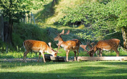 Fallow deer males. Several fallow deer males with spotted fur in deer park in summer, Hukvaldy, Czech Republic Royalty Free Stock Photos