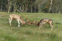Fallow deer during mating season. Mating season and the male fallow deer are at there biggest with there beautiful antlers Royalty Free Stock Photos