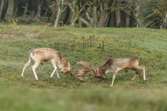 Fallow deer during mating season. Mating season and the male fallow deer are at there biggest with there beautiful antlers Stock Photos