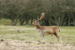Fallow deer during mating season. Mating season and the male fallow deer are at there biggest with there beautiful antlers Royalty Free Stock Photo