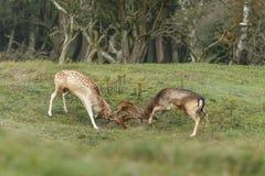 Fallow deer during mating season Royalty Free Stock Image