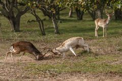 Fallow deer during mating season. Mating season and the male fallow deer are at there biggest with there beautiful antlers Royalty Free Stock Image