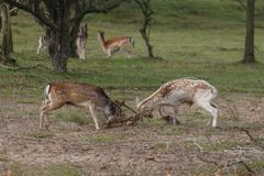 Fallow deer during mating season. Mating season and the male fallow deer are at there biggest with there beautiful antlers Stock Photo