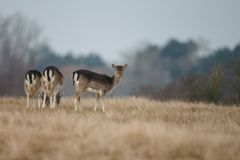 Fallow deer. Mating season and the male fallow deer are at there biggest with there beautiful antlers Stock Images